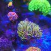 "Euphyllia paraancora (Fimbriaphyllia), neon green Tips, ""WYSIWYG"""