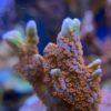 Montipora cactus M - WYSIWYG