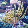 Menella sp. (Gorgonie, rot-gelb) Größe S (ca. 4 - 5 cm)