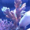 Styllophora Pastillata Milka WYSIWYG L