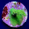 Seriatopora hystrix - tricolor WYSIWYG