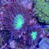 Actinia equina - Pferdeaktinie / Purpurrose, große Art (Mittelmeer) ca. 4-7 cm