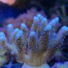 Seriatopora caliendrum weiß - WYSIWYG