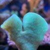 Caulastraea furcata - Preis pro Polyp, gewählte Anzahl kommt evtl. ohne Stein