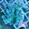 Galaxea fascicularis neongrün WYSIWYG - Kristallkoralle
