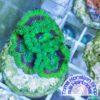 Goniopora mint WYSIWYG