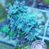 Echinopora lamellosa L - Chalice - blau/grün WYSIWYG