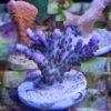 Acropora echinata - WYSIWYG