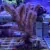 Gorgonie hornkoralle rumphella dick u groß