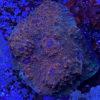 """Echinophyllia – Ultra Chalice, RED-GREEN Glimmer"""" WYSIWYG"""""""