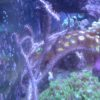 Guaiagorgia anas (Gorgonie, violett) Größe L