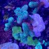 Acropora sp. Green Purple L - WYSIWYG