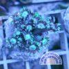 Micromussa Acanthastrea WYSIWYG